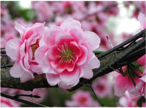 cherry blossoms 500 pixels