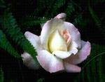 rose thumb
